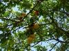 citrus-orlando-tangelo