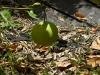 citrus-tahitian-pomplemousse