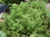 herb-citronella-geranium