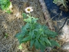 herb-echinacea