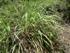 herb-lemongrass