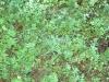 herb-oregano