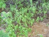 herb-peppermint