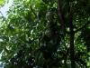 lilikoi-green-fruit