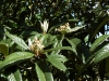 loquat-flowering-golden-nugget