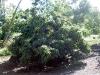 lychee-kaimana