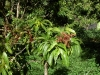 mango-flowering-raposza