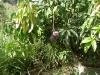 mango-raposza