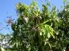 mango-zillate