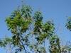 nft-calliandra-suranamensis