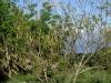nft-gliricidia-seeding
