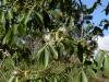 nft-inga-edulis-flowering