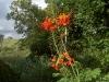 pulcharima-flowers