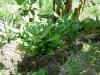 rootcrop-turmeric