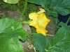 vegie-flowering-squash