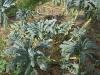 vegie-lacinto-kale