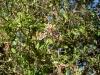 acerola-cherry-flowering