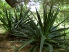 agave-nectar-species