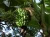 banana-dwarf-apple