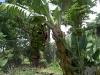 banana-dwarf-bluefield