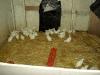 chickens-leghorns
